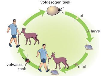 In deze afbeelding is de levenscyclus van een teek te zien.