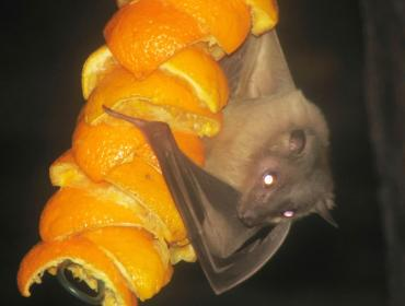 Fruit eating bats transmit Marburg virus credits CDC Phil