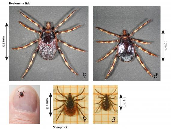 Images of the Hyalomma tick compared to sheep tick