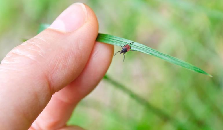 De ziekte van Lyme wordt veroorzaakt door de Borrelia-bacterie die wordt overgedragen door teken.